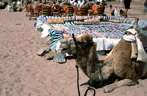 waiting dromedaries, Dahab, Egypt