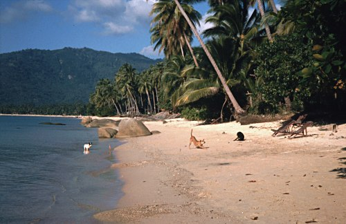 lazy dogs on the beach, Thailand