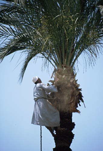 picking dates in a palm tree